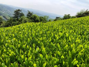 Tenzo Matcha Leaves